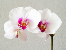 Orchid - Phalaenopsis. A white orchid (phalaenopsis) on a gray background Royalty Free Stock Photography
