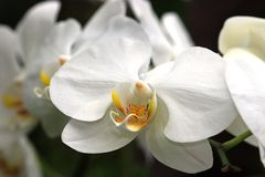 Orchid- Phalaenopsis Amabilis Royalty Free Stock Photo