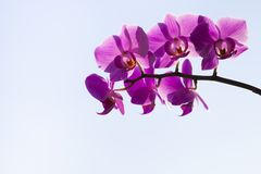 Orchid Phalaenopsis on a blue background. Stock Photography