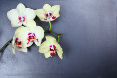 Orchid (Phalaenopsis ) Royalty Free Stock Photos