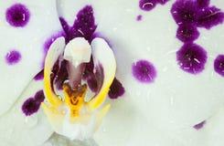 Orchid phalaenopsis Stock Photography
