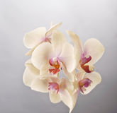 Orchid Phalaenopsis Flower Stock Photography