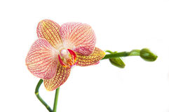 Orchid, Phalaenopsis, flower Royalty Free Stock Images