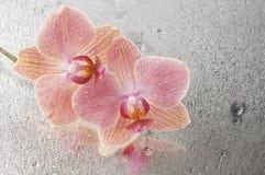 Orchid phalaenopsis flower Stock Image