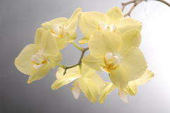 Orchid phalaenopsis flower Stock Photos
