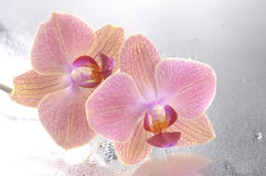 Orchid phalaenopsis flower Stock Photo