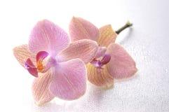 Orchid phalaenopsis flower Royalty Free Stock Image