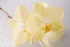 Orchid phalaenopsis flower Royalty Free Stock Photos