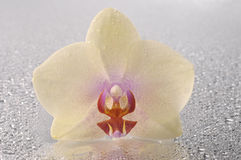 Orchid phalaenopsis flower Stock Images