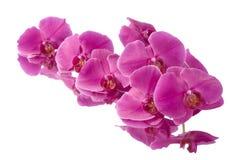 Orchid phalaenopsis flower Royalty Free Stock Photo