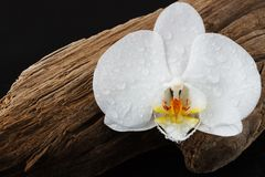 An orchid Phalaenopsis flower on a snag royalty free stock image