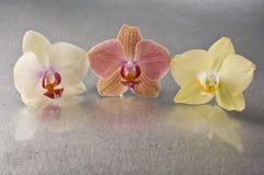 Orchid phalaenopsis flowers Stock Image