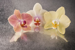 Orchid phalaenopsis flowers Royalty Free Stock Photos