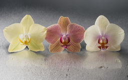 Orchid phalaenopsis flowers Royalty Free Stock Photo