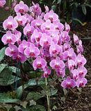 Orchid Phalaenopsis Royalty Free Stock Image