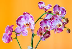 Orchid phalaenopsis. Picture orchid on a homogeneous background Stock Images