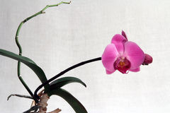 Orchid phalaenopsis, pink flower Royalty Free Stock Images