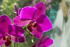Orchid Phalaenopsis pink petals, several flowers Royalty Free Stock Photography