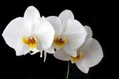 orchid phalaenopsis pink white 库存照片