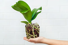 Orchid phalaenopsis planting, soil, root and moss. On wooden background Stock Photos