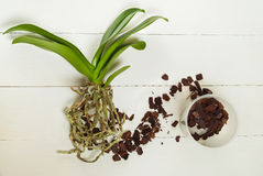 Orchid phalaenopsis planting, soil, root and moss. On wooden background Royalty Free Stock Images