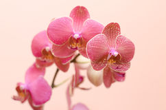 Orchid Phalaenopsis. Red spotty moth orchid phalaenopsis Royalty Free Stock Photos