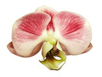 Orchid phalaenopsis  red-white  flower. isolated on white background with clipping path.  Closeup. Stock Photography
