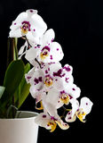 Orchid phalaenopsis white flower Stock Photo