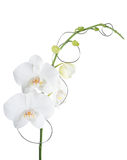 Orchid phalaenopsis white Royalty Free Stock Images