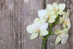 Orchid (Phalaenopsis ) Royalty Free Stock Image