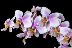 Orchid Phalenopsis mini white pink color on black background Stock Images