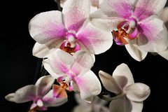 Orchid Phalenopsis mini white pink color Royalty Free Stock Images