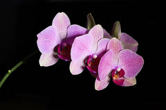 Orchid Phalenopsis mini white pink color Stock Photos