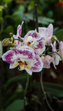 Orchid Phalenopsis Stock Photos