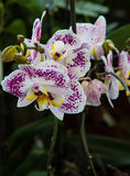 Orchid Phalenopsis Royalty Free Stock Image