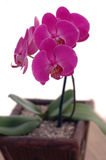 Orchid/Phaleonopsis Stock Photography