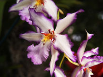 Orchid. Picture of the beautiful orchid/flower in the NY Botanical Garden Stock Photography