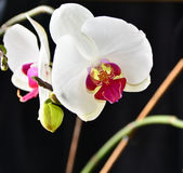 Orchid. Royalty Free Stock Photography