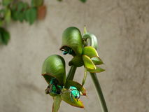 Orchid pimenton,. Exotic green flower along with hornets of striking colors Stock Images