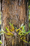 Orchid on pine tree Royalty Free Stock Photos