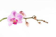 Orchid pink. Beautiful pink orchid - phalaenopsis,  on white backgraund Stock Image