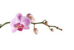 Orchid pink. Beautiful pink orchid - phalaenopsis, on white backgraund royalty free stock photography