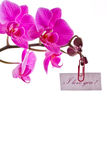 Orchid pink Royalty Free Stock Photo