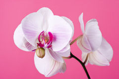 Orchid on Pink. Moth Orchid isolated on Pink Stock Photo