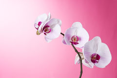 Orchid on Pink. Orchid Phalaenopsis isolated on Pink royalty free stock photos