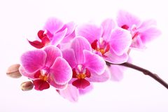 Orchid. On pink background Royalty Free Stock Photo