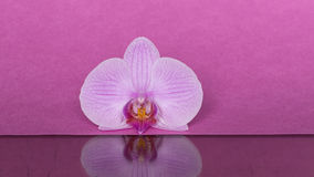 Orchid on pink background Royalty Free Stock Image