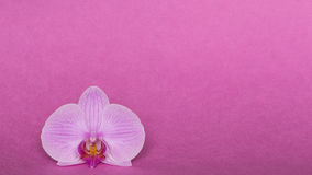Orchid on pink background Royalty Free Stock Photos