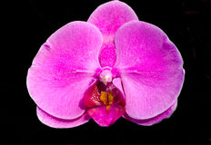 Orchid. Pink orchid on a black background Stock Images