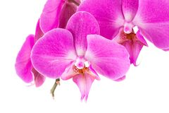 Orchid  pink  flower Stock Photography